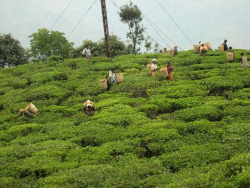 Picking tea sm